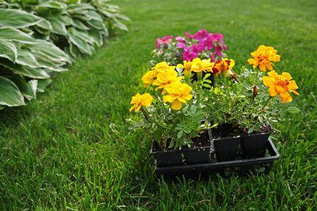 a flat of spring flowers ready for planting Reklamní fotografie