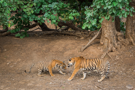 A territorial fight between a male tiger and female sub adult tigress at Ranthambore National Park, India Stock Photo