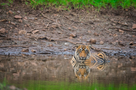 On a rainy day in a monsoon season this male royal bengal tiger cub waiting for her mother in enchanting nature  at Ranthambore National Park, India 版權商用圖片