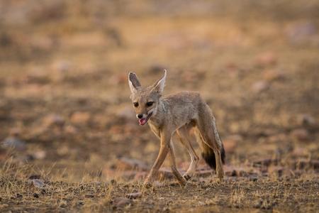 A fox pup at Ranthambore National Park