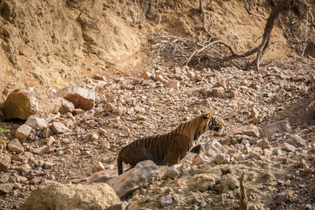 A angry male tiger charged over gypsy at ranthambore national park