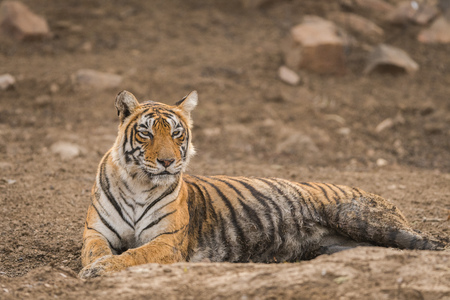 On a beautiful evening A beautiful tigress from ranthambore national park, India