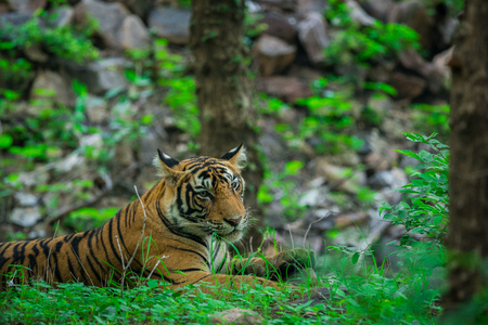 A male tiger in monsoon green at ranthambore national park 版權商用圖片