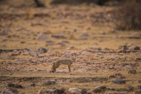 indian fox pup  Vulpes bengalensis at ranthambore national park