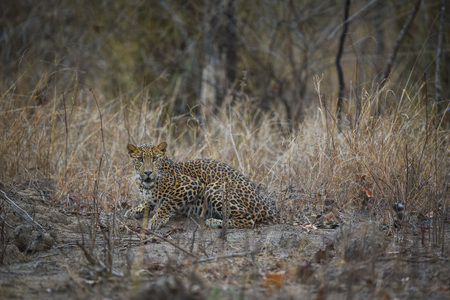 An encounter with a leopard in a late evening  at kanha tiger reserve