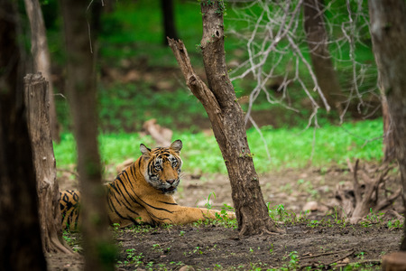 A male tiger sitting under shed of a tree in a rainy day In monsoon at Ranthambore National Park. Its amazing to see how this dry forest becomes lush green after rain. Stock Photo