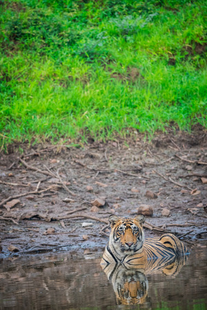 In a monsoon season a male tiger resting in waterhole at Ranthambore National Park