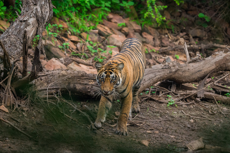 A tiger cub roaming around in her territory in a monsoon season at Ranthambore Tiger Reserve
