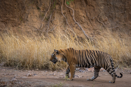 A dominant male tiger from Ranthambore Tiger Reserve on an evening stroll and growls for his cubs 版權商用圖片 - 113036877