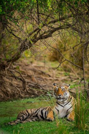 A Tigress Arrowhead in a beautiful backdrop and nature greens at Ranthambore Tiger Reserve, India