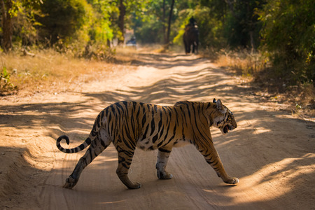 Tiger crossing one of jungle trail at bandhavgarh tiger reserve, India