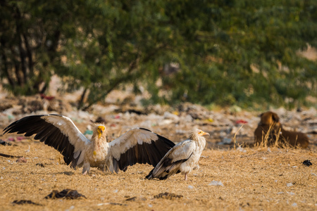 Fight between Egyptian Vultures with wings open at Jorbeer conservation Reserve at bikaner, India