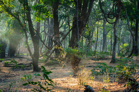 An early morning safari in winter mist with sun rays at bandhavgarh tiger reserve, india