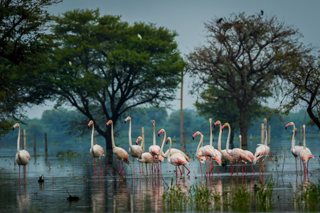 Greater flamingo flock in natural habitat. A nature paining created by these flamingos at keoladeo national park, bharatpur, india