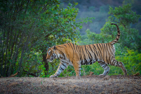 A dominant male tiger from Ranthambore Tiger Reserve roaming and strolling in his territory. Zdjęcie Seryjne