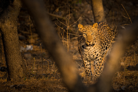 An early morning encounter with a ghost or one of the most elusive animal of the jungle at Ranthambore Tiger Reserve, India