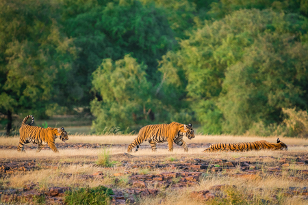 A tigress and her cubs whole tiger family resting during evening light at Ranthambore Tiger Reserve, India