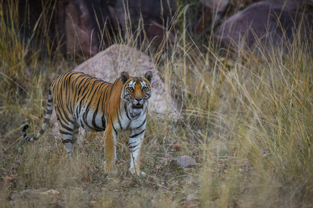 On a beautiful evening A future mother and pregnant tigress on territory marking at Kanha Tiger Reserve, India