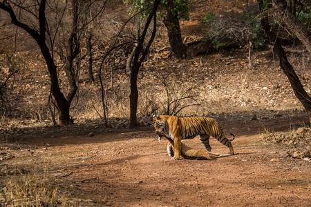 Raw nature of jungle. Spotted Deer hunt by a female tiger in a hot summer morning at Ranthambore Tiger Reserve, India