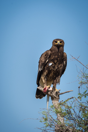 Greater spotted eagle or spotted eagle or Clanga clanga portrait sitting on perch at talchappar blackbuck sanctuary, India