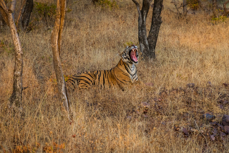 A female Royal bengal tiger in the nature habitat. Tiger sitting yawn during the golden light time. Wildlife scene with danger animal. Hot summer in India. Dry area with beautiful indian tiger, Panthera tigris at Ranthambore National Park, Rajasthan, India
