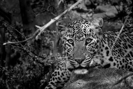 Eine enge Begegnung mit einem Geist des Dschungels. Ein indischer Leopard wütendes Gesicht aus dem Jhalana Forest Reserve, Jaipur, Indien