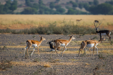 A blackbuck walking in a green background and morning light in grassland of tal chappar blackbuck sanctuary. This sanctuary also famous for raptors. males are black and female are in orange color 版權商用圖片