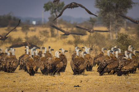 Eurasian Griffon vultures (Gyps fulvus) flocks flying and sitting on carcass near Bikaner, Rajasthan, India Фото со стока