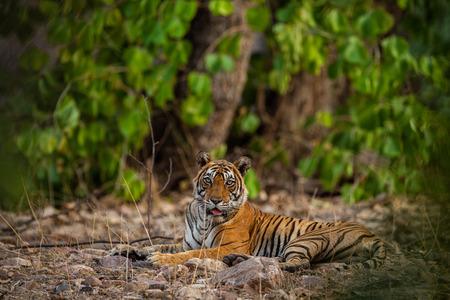 Una hembra de tigre descansando en la noche con hermosos alrededores justo antes de comenzar a marcar el territorio en el Parque Nacional Ranthambore, India Foto de archivo