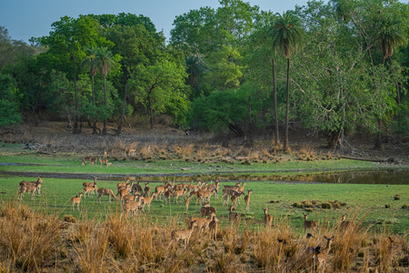 Alert Spotted deer herd after an alarm call by a sambar deer in rajbaug lake at Ranthambore National Park, India