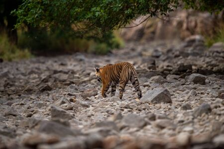 A female tiger walking on ramganga river bed on stones and rocks for territory marking at Corbett National Park, uttarakhand, India Foto de archivo