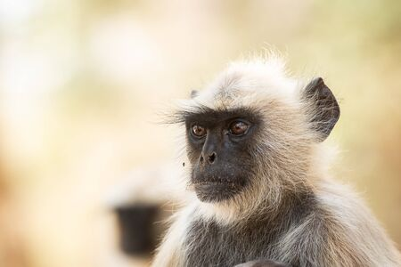 Gray langurs, sacred langurs, Indian langurs or Hanuman langurs, Old World monkeys portrait native to the Indian subcontinent constituting the entirety of the genus Semnopithecus at Ranthambore