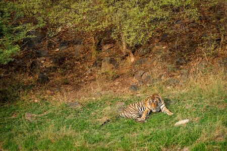 An angry male tiger with expression on his face on a green grass at Ranthambore National Park, India