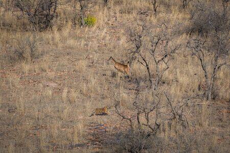 Habitat image with a female tiger cub and alert running sambar deer at Ranthambore National Park. A beautiful tiger cub in search for huge prey at dry hill during hot summer at Ranthambore