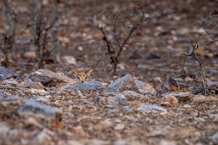 chinkara or Gazella bennettii or Indian gazelle fawn split with her mother and found alone at ranthambore tiger reserve, india