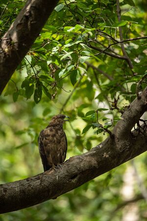 crested honey buzzard or pernis ptilorhynchus in a beautiful green background sitting on a perch at keoladeo national park, bharatpur, india