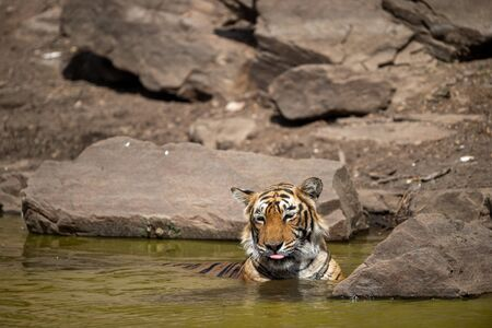 Royal bengal female tiger resting near water body of the jungle. Animal in forest stream near rock and hills. Wild cat in natural habitat at ranthambore national park, Rajasthan, india, asia