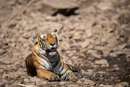 Royal bengal female tiger resting near water body on white rocks. Tired, weak and hungry tiger from days. Wild cat in natural habitat at ranthambore national park, Rajasthan, india, asia Stock Photo