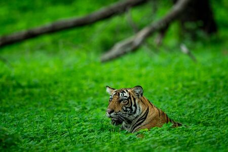 In an evening safari to buffer zone during monsoon season A handsome and wild male tiger (panthera tigris) sighted in green background after heavy rains at Ranthambore National Park, Rajasthan, India