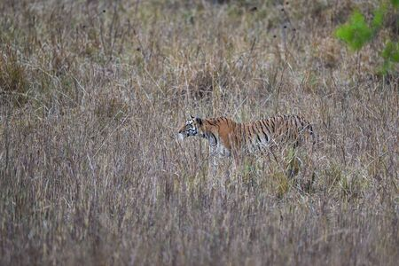 During patrolling her territory, this Pregnant female tiger (panthera tigris) was stalking a prey in hide of long grass and  camouflage her body at kanha national park, madhya pradesh, india 版權商用圖片