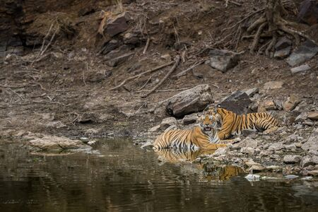 Wildlife scene of tigress and her cub. Angry looking female bengal tiger and her cub with face expressions near water body during summer safari in dry deciduous forest at ranthambore national park, rajasthan, india