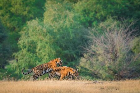 Wildlife scene of playful tiger cubs. These two tiger cubs playing, running and learning fighting skills in beautiful green background during post monsoon safari at ranthambore national park, rajasthan, india