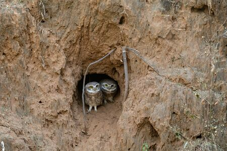spotted owlet (Athene brama) curious mating pair in a hole in sand dune at jhalana forest reserve, jaipur, rajasthan, india