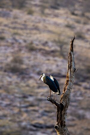 Asian woolly necked stork or Asian white necked stork bird pair on a dead tree perch with beautiful isolated background at ranthambore tiger reserve, rajasthan, india