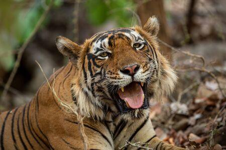 Close up of  Huge Mystery Male Tiger Resting under shade of tree during full day safari in hot summer at Ranthambore National Park, Sawai Madhopur, Rajasthan, India Stock Photo