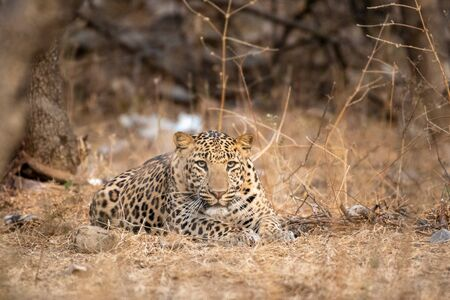 urban area Indian leopard head shot looking straight to the camera with intense expressions at jahalana forest reserve Jaipur - panthera pardus