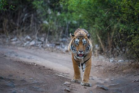 Wild Male bengal tiger on an evening stroll on a jungle track at ranthambore national park, rajasthan, india - (panthera tigris)