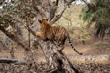 Adult male bengal tiger trying to climb and balance over a tree trunk while he was on stroll for territory marking during morning safari at Ranthambore Tiger Reserve, Rajasthan India - panthera tigris Stock Photo