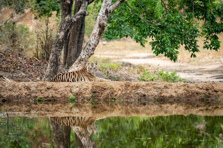 Wild female tiger cub resting in nature green background near water body or lake in summer season. Apex predator of indian forest at bandhavgarh national park, madhya pradesh, india - panthera tigris