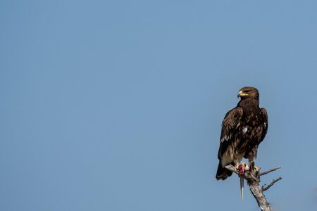Greater spotted eagle or Clanga clanga sitting on a beautiful perch and blue sky background isolation at tal chhapar blackbuck sanctuary, rajasthan, India